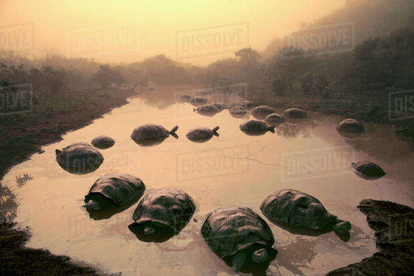 Giant tortoises in pond, Geochelone nigra, Alcedo Volcano, Galapagos Islands Rights-managed stock photo