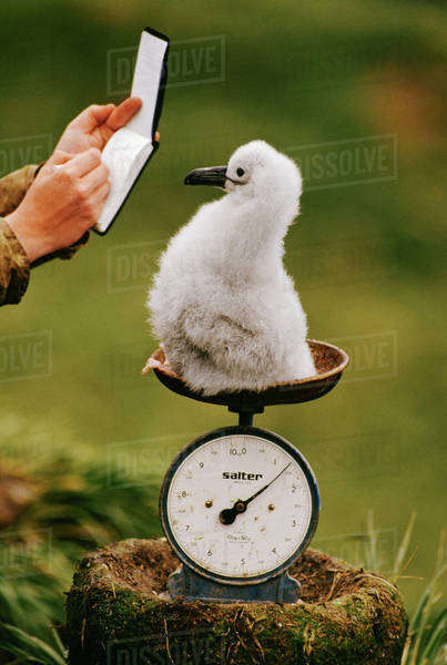 Gray-headed albatross chick, Thalassarche chrysostoma, being weighted on South Georgia Island Rights-managed stock photo