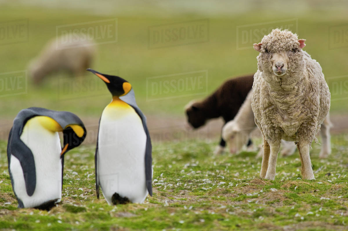 Sheep, Ovis aries, in king penguin colony, Aptenodytes patagonicus ...