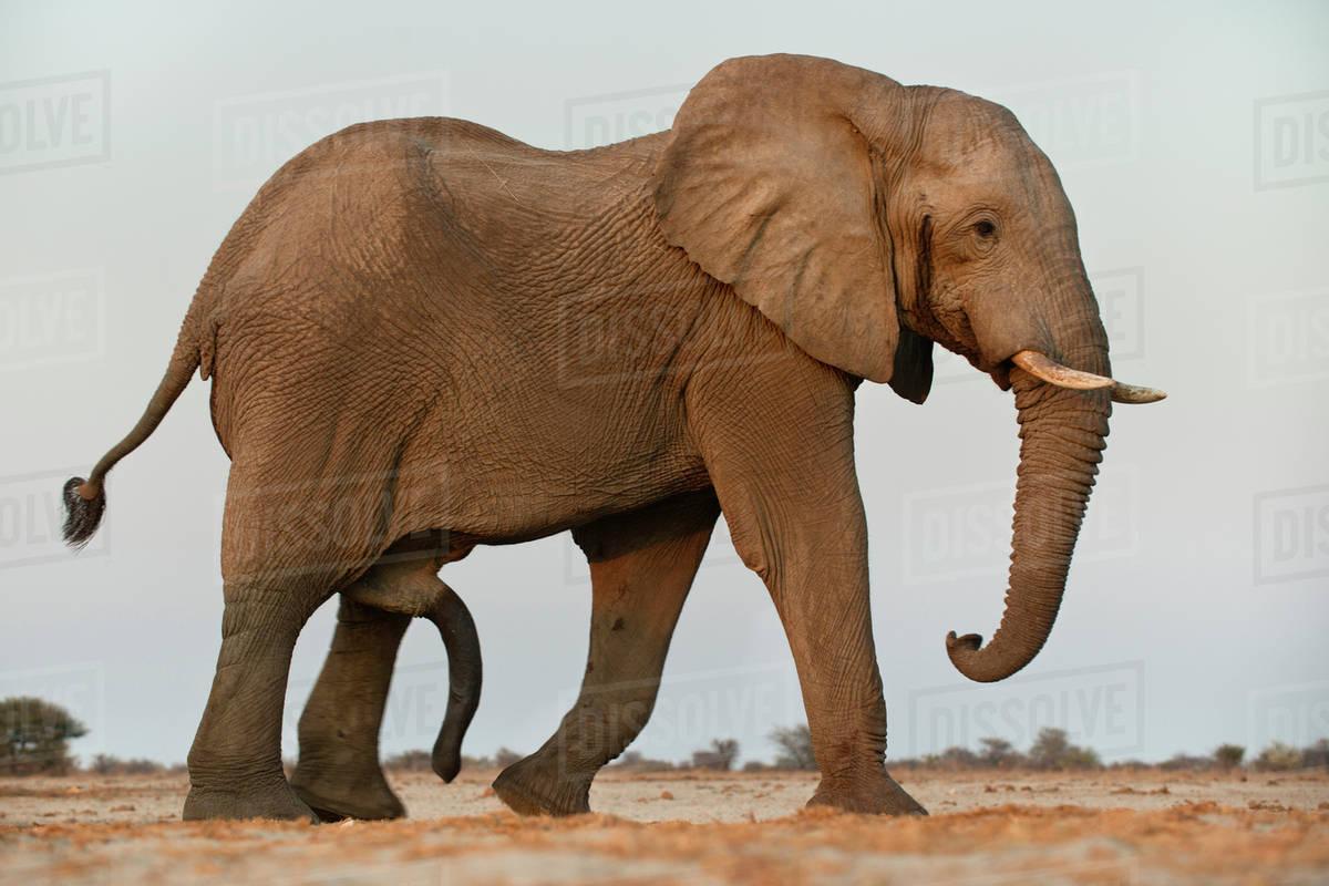 Elephant male, Loxodonta africana, with erect penis