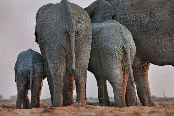 Elephants at water hole, Loxodonta africana, Etosha National Park, Namibia Rights-managed stock photo