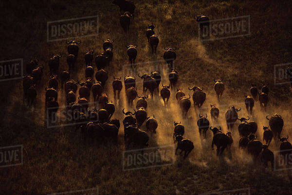 Syncerus caffer caffer, Cape buffalo herd seen from the air, moving across the landscape in Botswana. Rights-managed stock photo