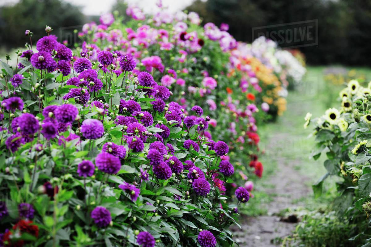 Summer Flowering Plants In An Organic Flower Nursery Dahlias In
