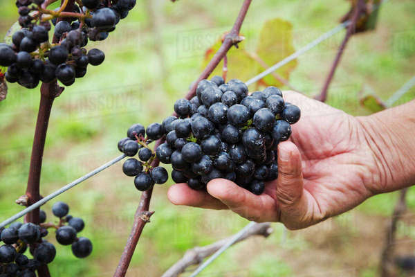 A hand picking a bunch of red grapes.  Royalty-free stock photo