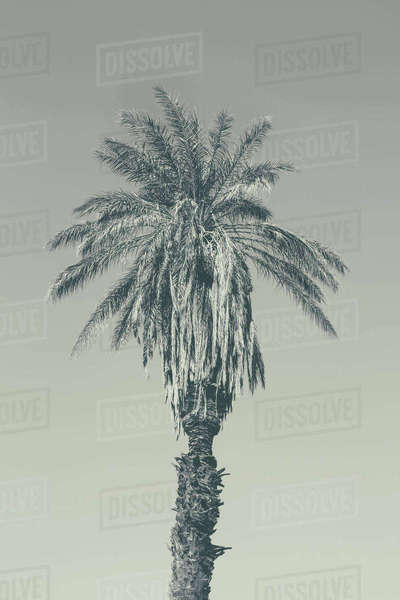 Sepia toned image of palm tree, Death Valley National Park Royalty-free stock photo
