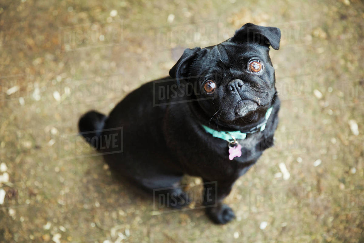 A small black pug dog looking up.  Royalty-free stock photo