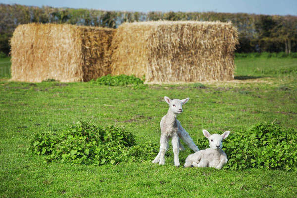 Two newborn lambs on a pasture, large stacks of straw in the background. Royalty-free stock photo