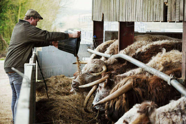 A farmer emptying feed in to a trough for a row of longhorn cattle, in a barn. Royalty-free stock photo