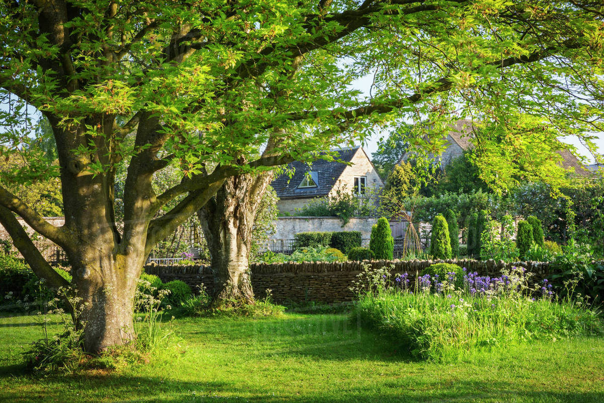 Garden With Trees Lawn And Purple Allium Drystone Wall And