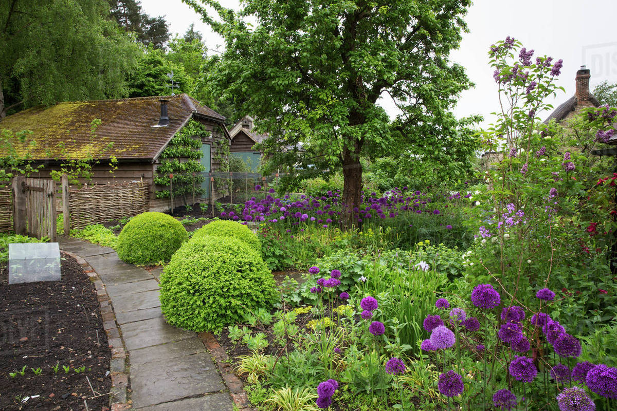 View of garden with flowerbed with shrubs and purple flowers and view of garden with flowerbed with shrubs and purple flowers and plant bed divided by path tree and cottage in background mightylinksfo