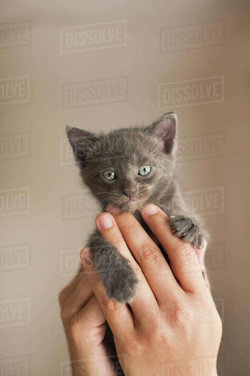 A small grey kitten being held in a person's hands. Royalty-free stock photo