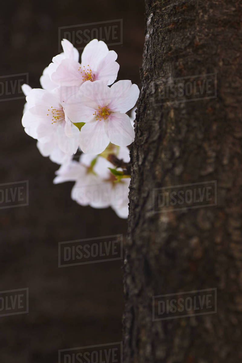 Close Up Of Tree Trunk And White Japanese Cherry Blossoms Stock