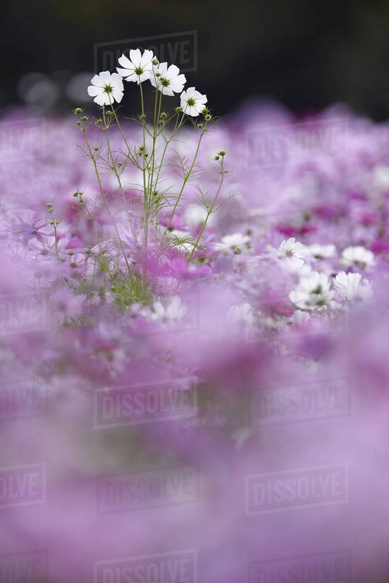 Surface View Of Field Of White And Pink Cosmos Flowers One Tall