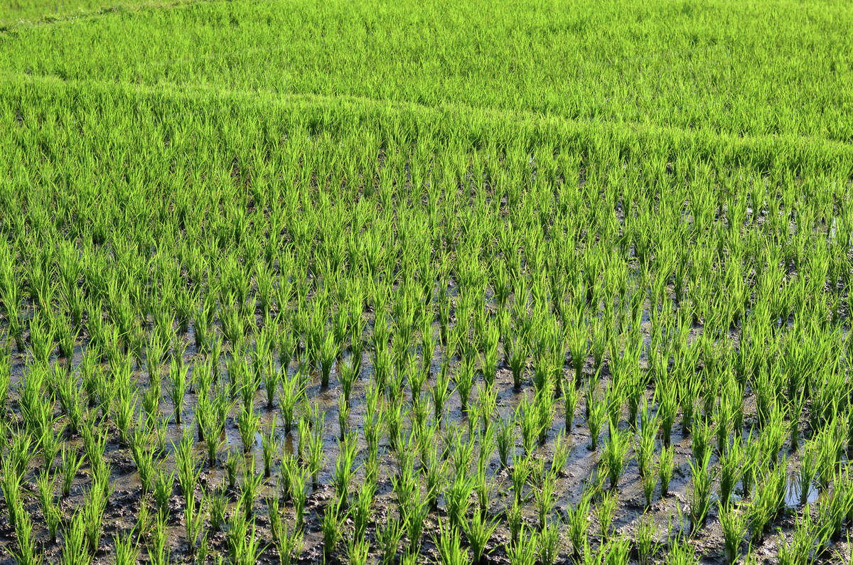 Small green rice plants growing in the shallow paddy fields, rice paddies with mud dividing walls, on the plain between small villages.  Royalty-free stock photo