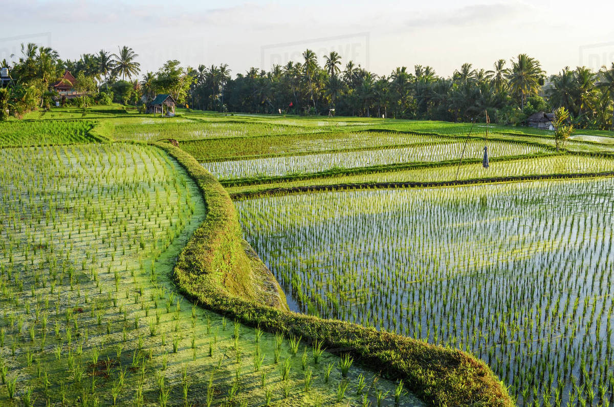 Image result for rice fields