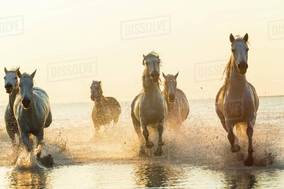Medium Group Of White Horses Running In The Ocean Stock Photo