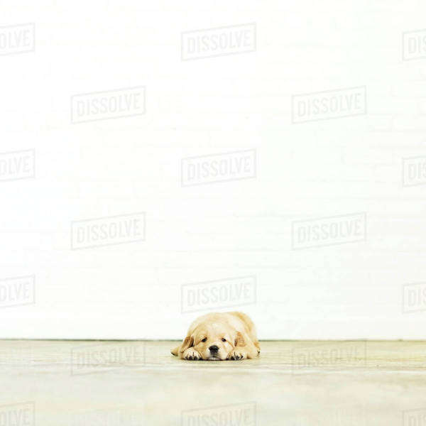 Portrait of puppy lying down on wooden floor Royalty-free stock photo