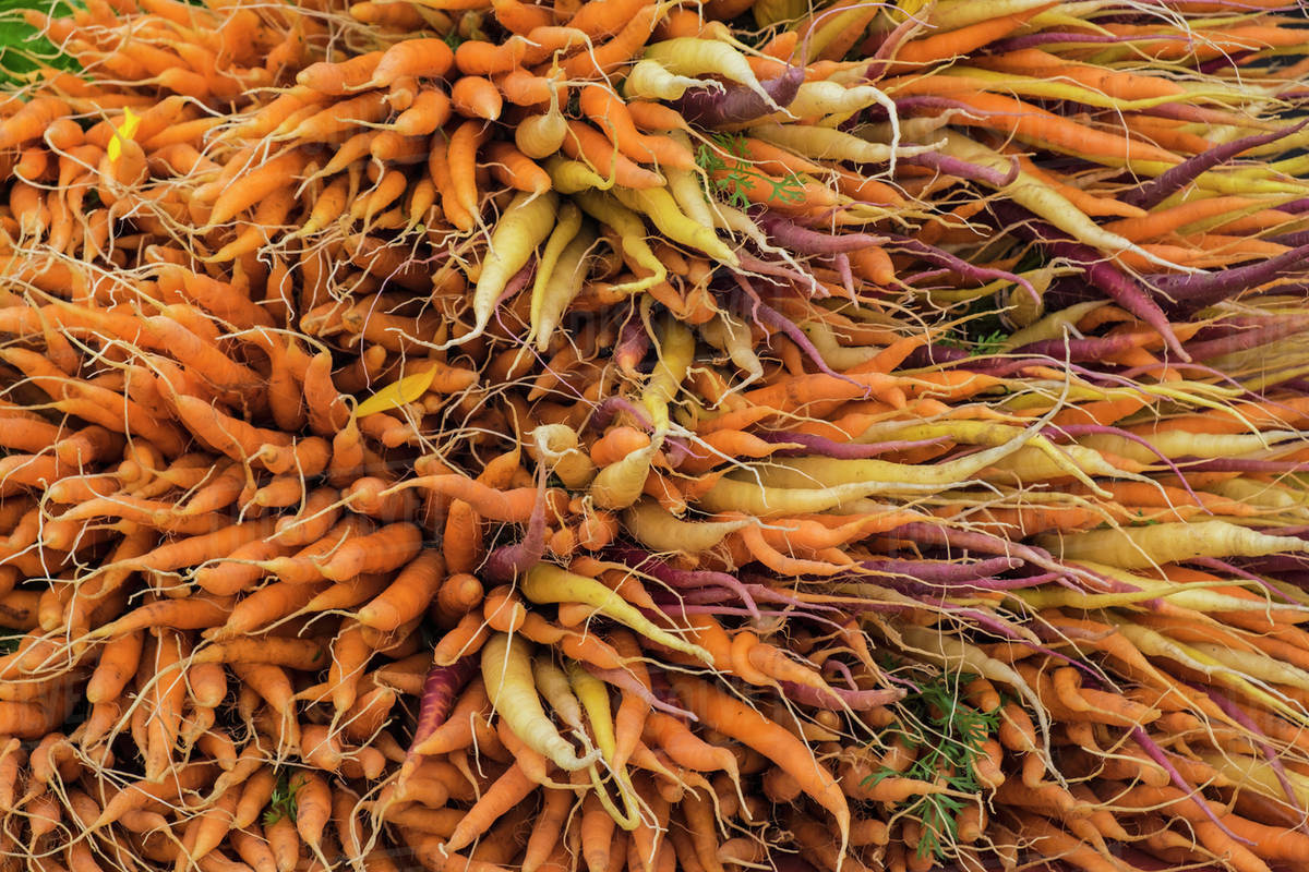 Large Bunch Of Orange Yellow And Purple Carrots