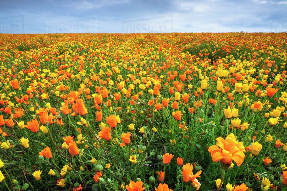Usa Oregon Marion County Field Of Yellow And Orange Flowers
