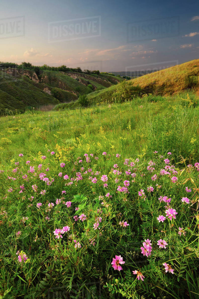 Ukraine Dnepropetrovsk Meadow With Pink Flowers Stock Photo