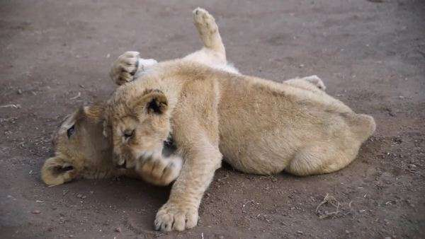 Handheld shot of playful lion cubs Royalty-free stock video