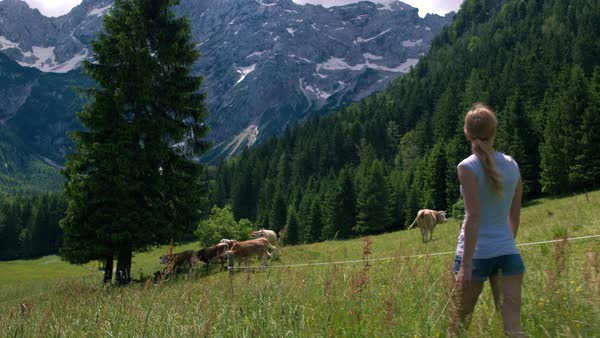 Young woman approaching cows on pasture in Alpine valley Royalty-free stock video