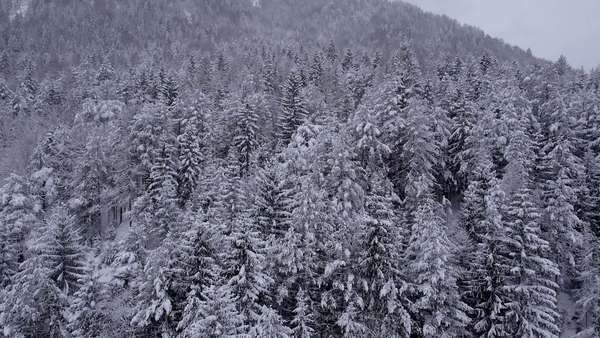 Aerial - Pine trees covered with snow Royalty-free stock video