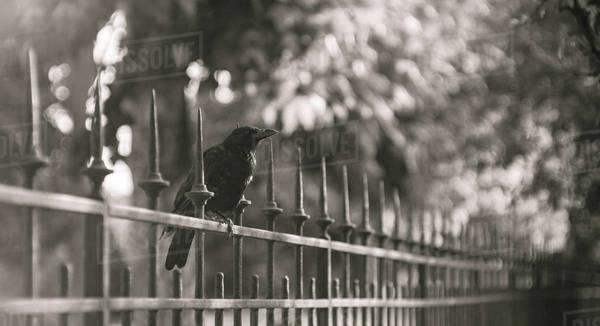 Black and white image of crow on a fence in a garden in Paris Royalty-free stock photo