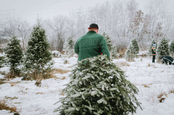 Rear view of man carrying Christmas tree while walking in farm Royalty-free stock photo