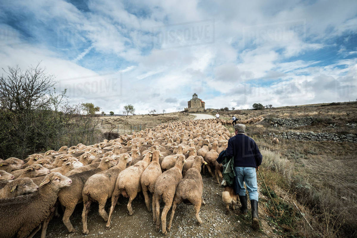 Rear view of male shepherd herding sheep while walking on field ...