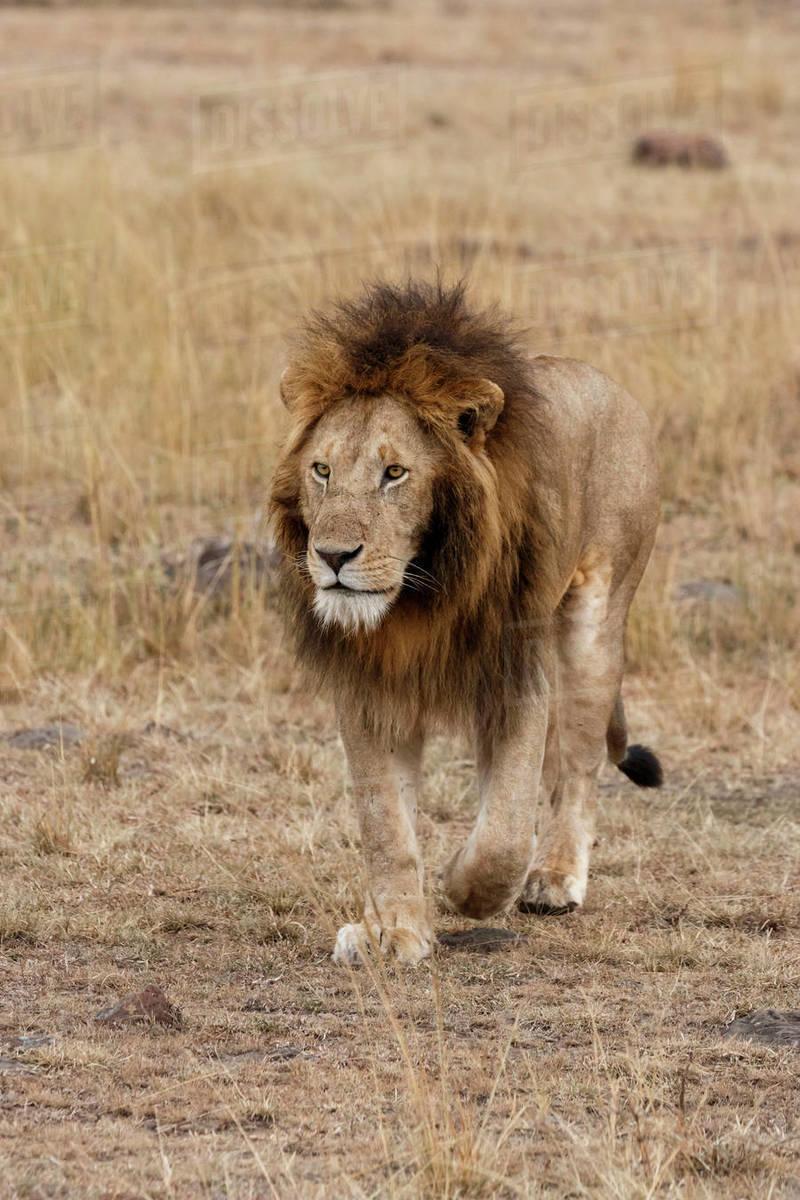 lion walking on field at maasai mara national reserve stock photo