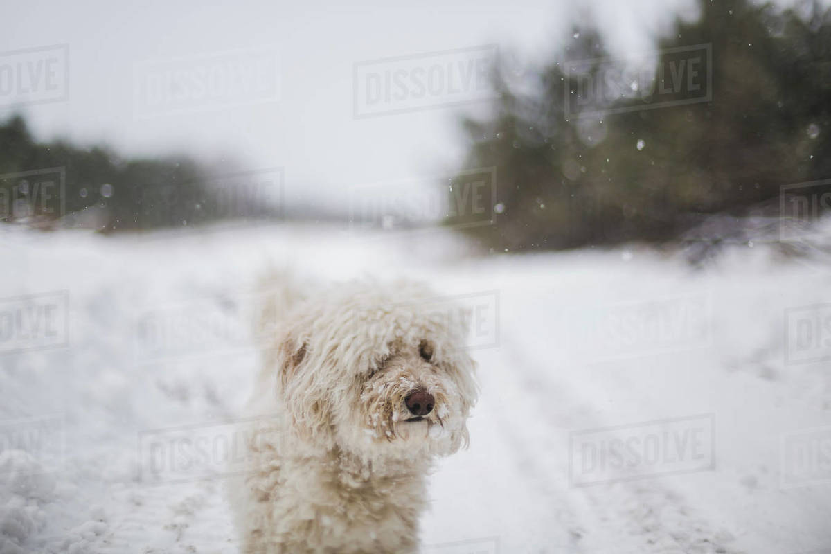 White hairy dog standing on snow covered field during snowfall