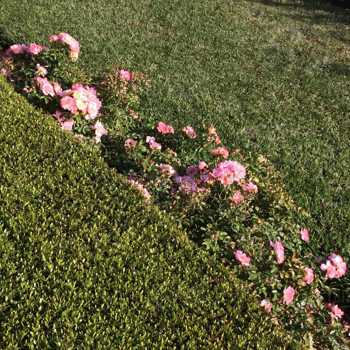 High Angle View Of Pink Flowers Growing On Plants At Grassy Field