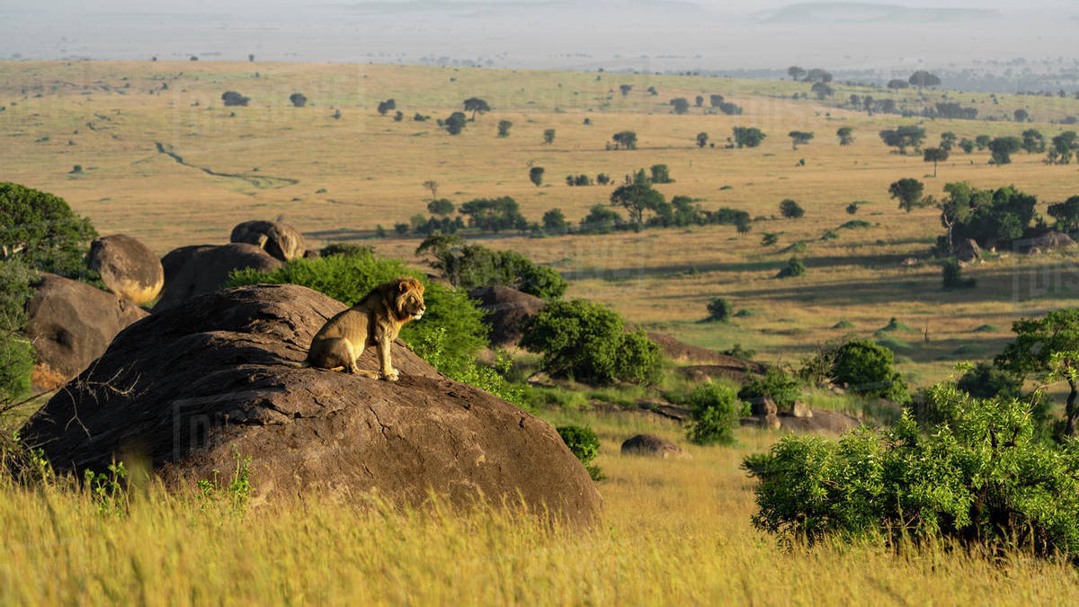 A male lion sits on a rock and enjoys the sun in the early morning Royalty-free stock photo