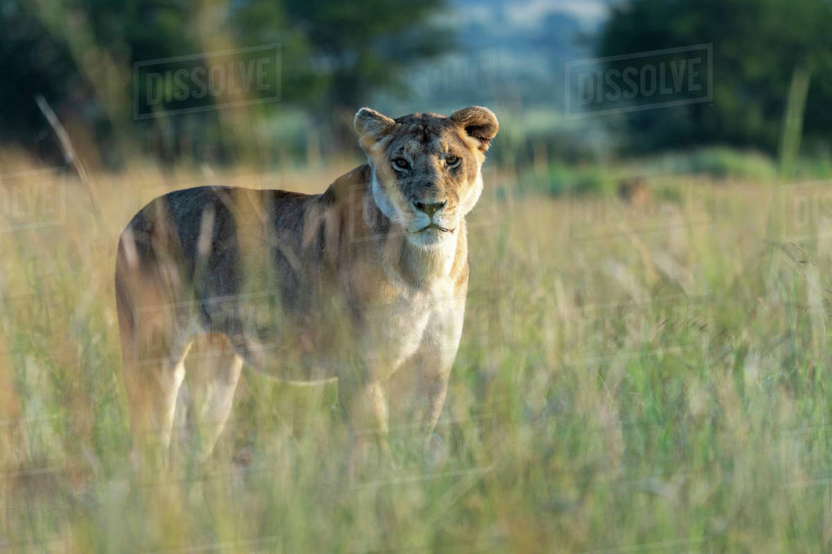 A lioness stands in the tall grass and looks at us Royalty-free stock photo