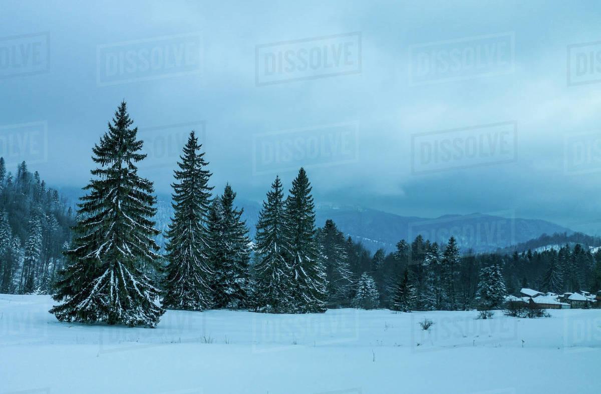 Fir trees în the snow Royalty-free stock photo