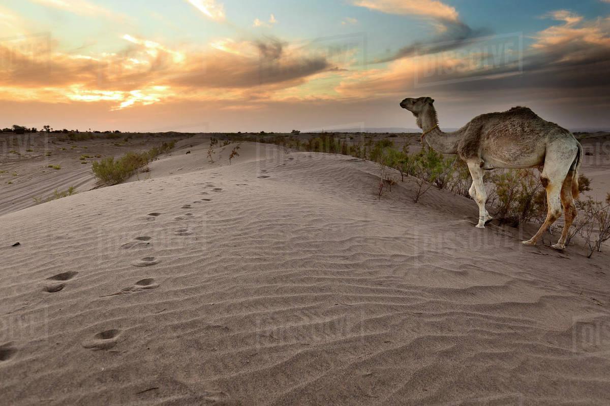 Sunset at M'Hamid El Ghizlane or Lamhamid Ghozlane. Royalty-free stock photo