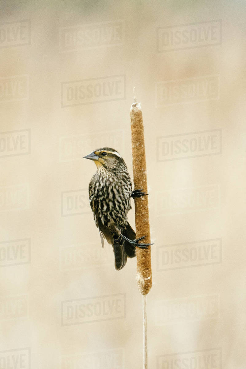 Closeup portrait of a sparrow perched sideways on a cattail reed Royalty-free stock photo