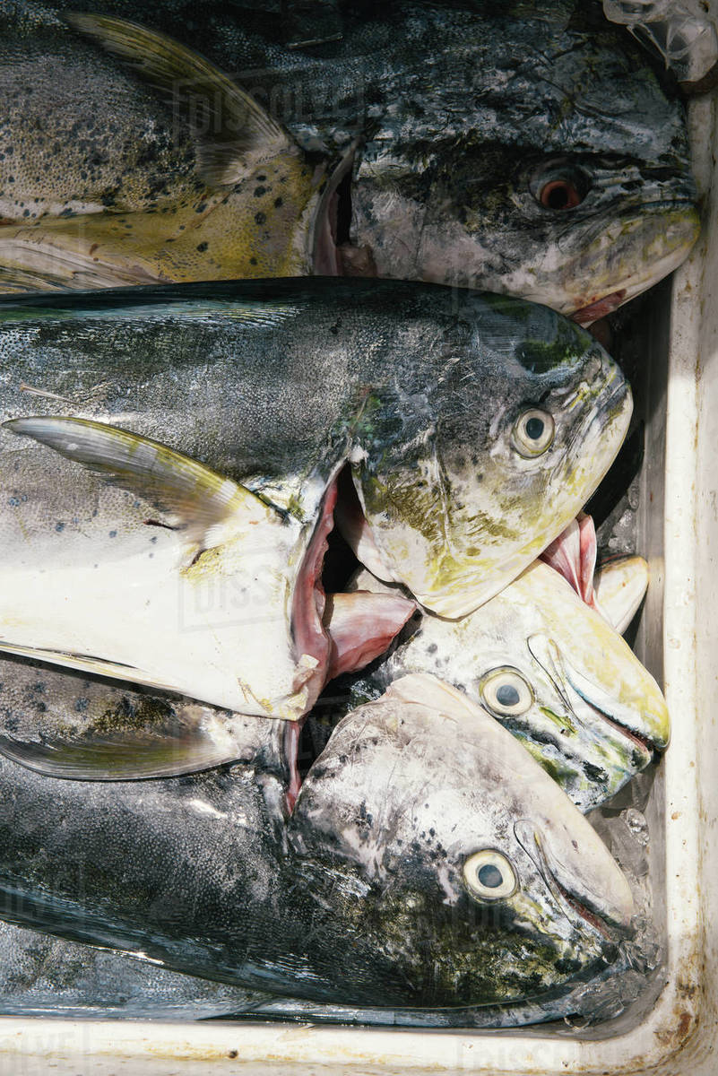 Mahi Mahi resting on ice in market after fresh catch in Caribbean Royalty-free stock photo
