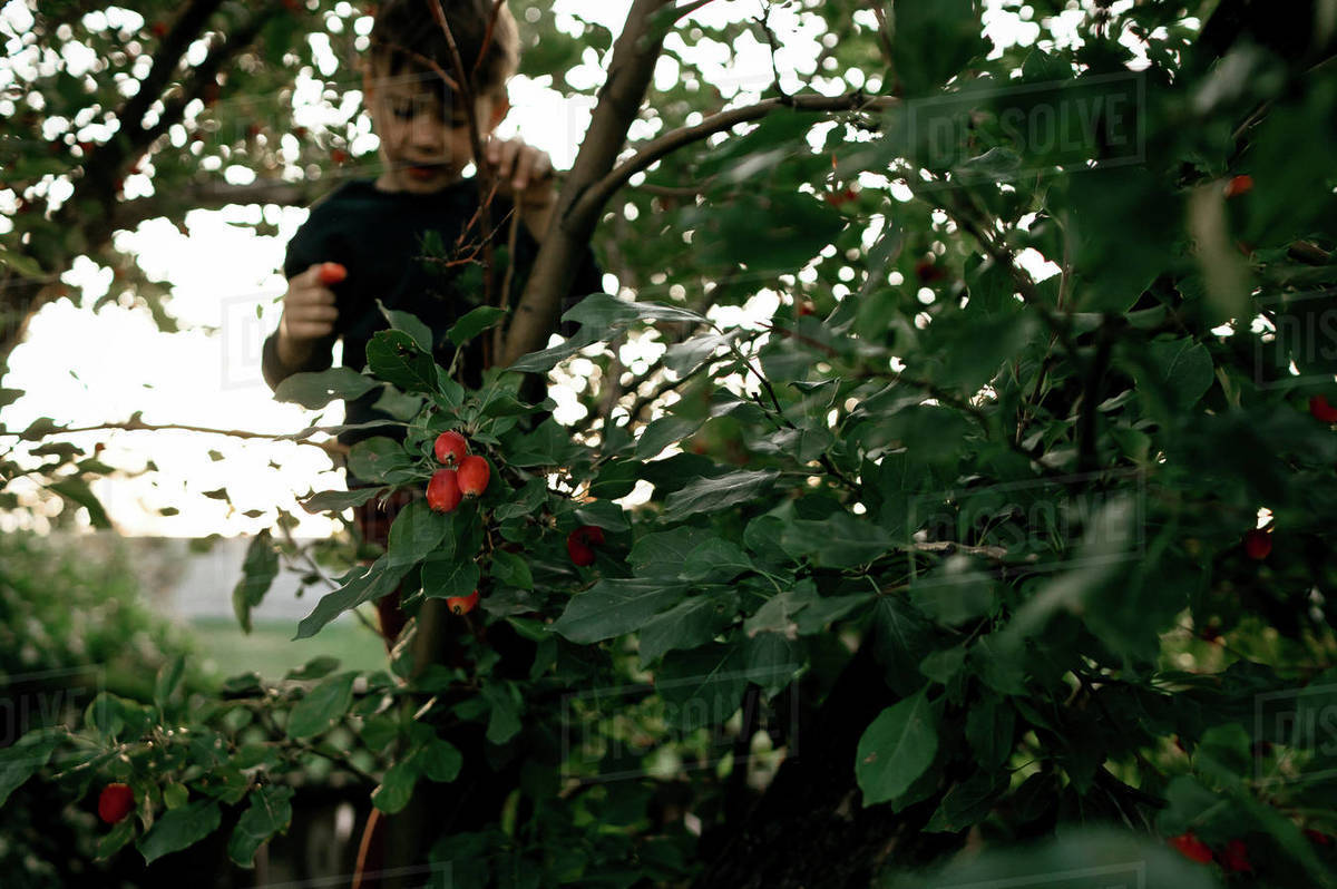 Young boy climbing cherry tree in backyard in the summer Royalty-free stock photo