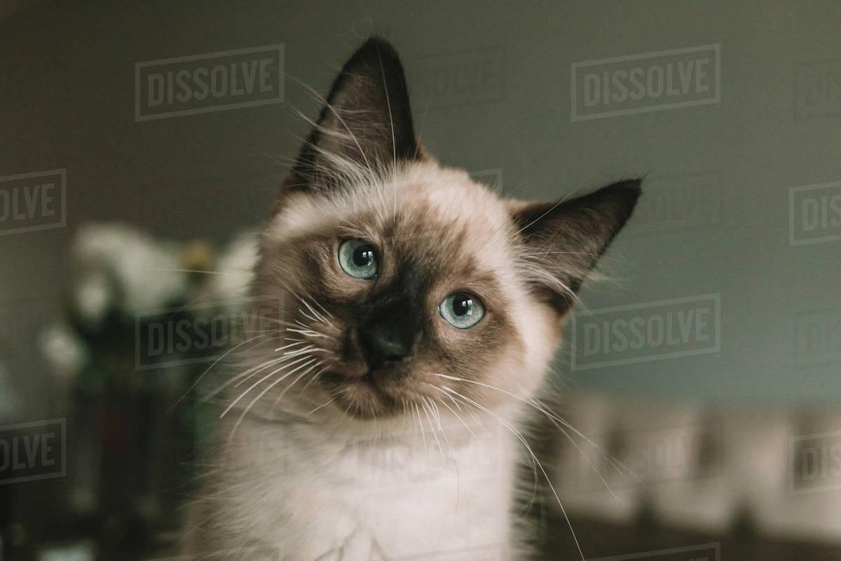 Blue eyed Siamese kitten sitting on table Royalty-free stock photo