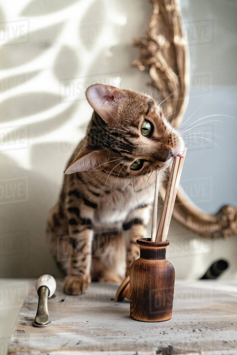 Wooden aroma diffuser with chopsticks a bengal cat is trying to eat against the background of the mirror Royalty-free stock photo