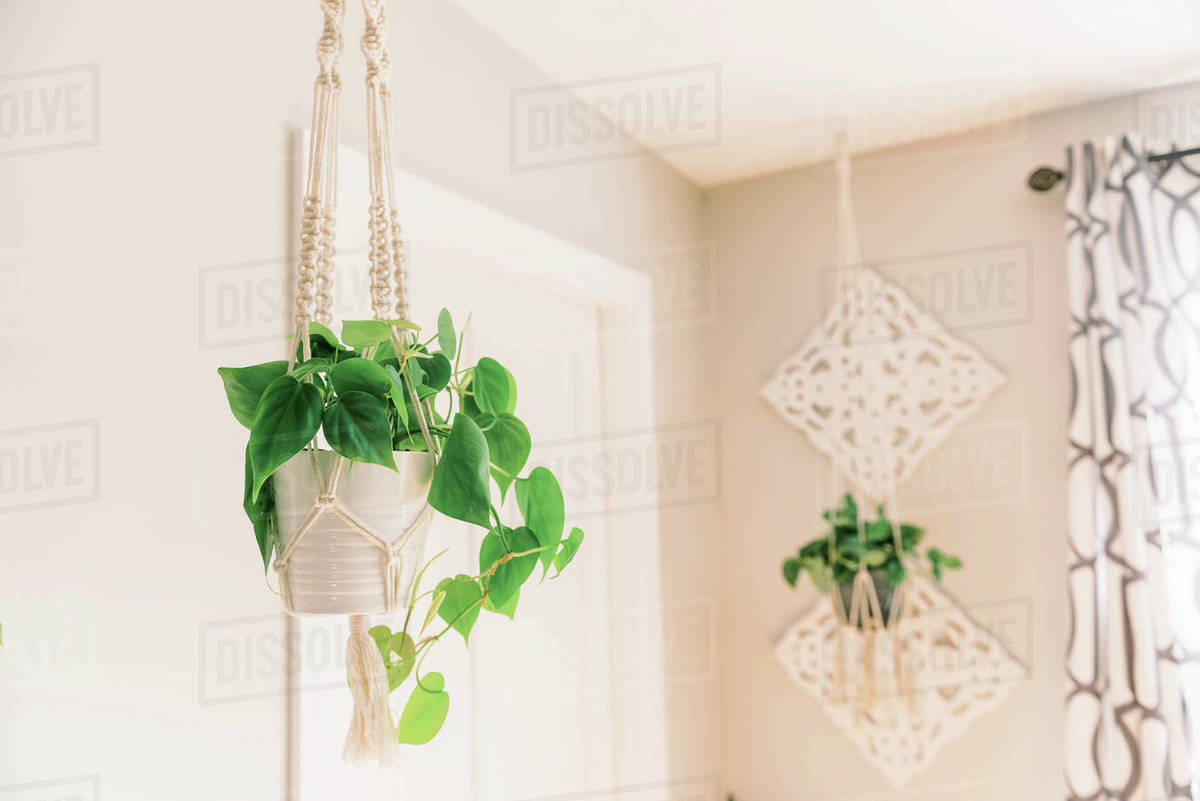 Hanging philodendron in a macrame plant hanger. Royalty-free stock photo