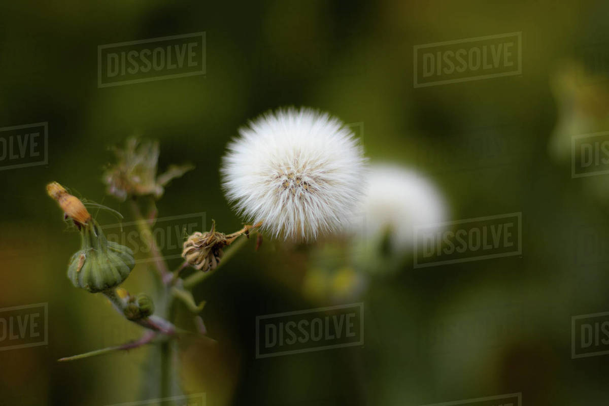 Very fluffy dandelion on the sidewalk Royalty-free stock photo