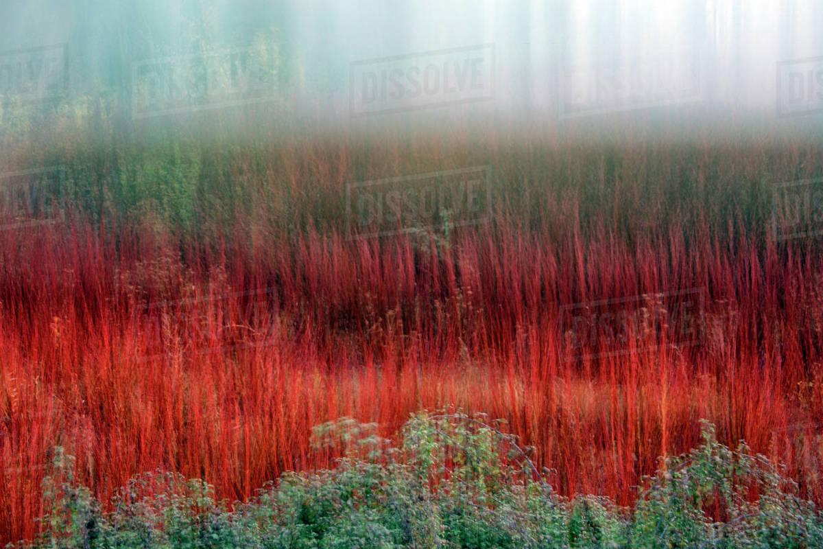Wicker grown in the Natural Park of the Serrania de Cuenca. Cañamares. Castilla la Mancha. Spain Royalty-free stock photo