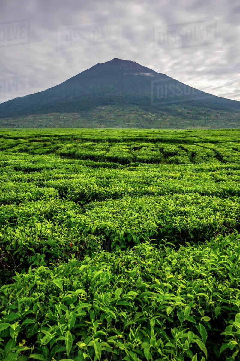 Kerinci volcano and vibrant lush tea plantations. Highest volcano Royalty-free stock photo