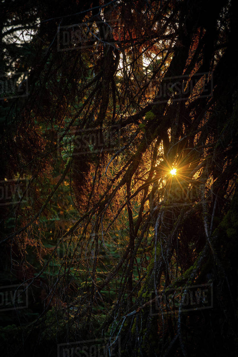 Sunset through the branches of a pine tree in Yosemite National Park Royalty-free stock photo