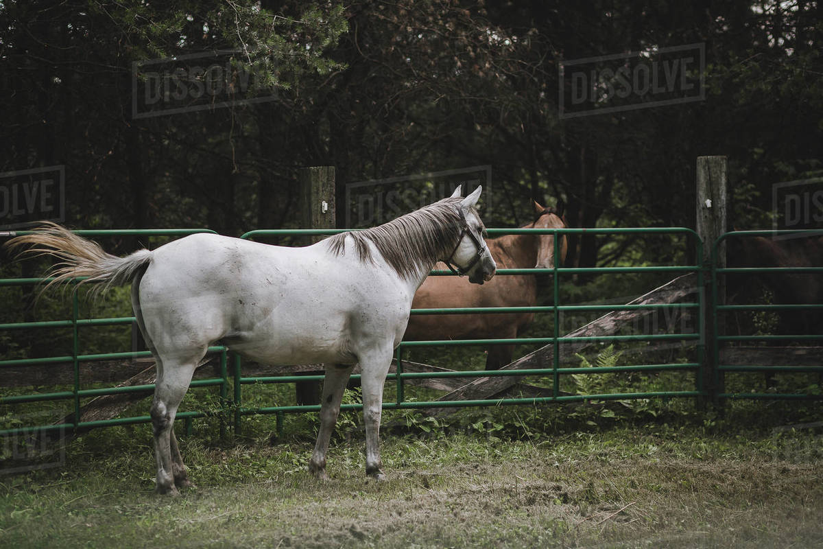 Grey mare quarter horse in round pen meeting buckskin horse Royalty-free stock photo