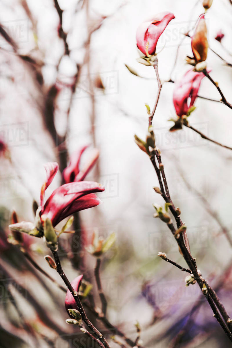 Pink magnolia flowers. Selective focus, blurred background. Royalty-free stock photo