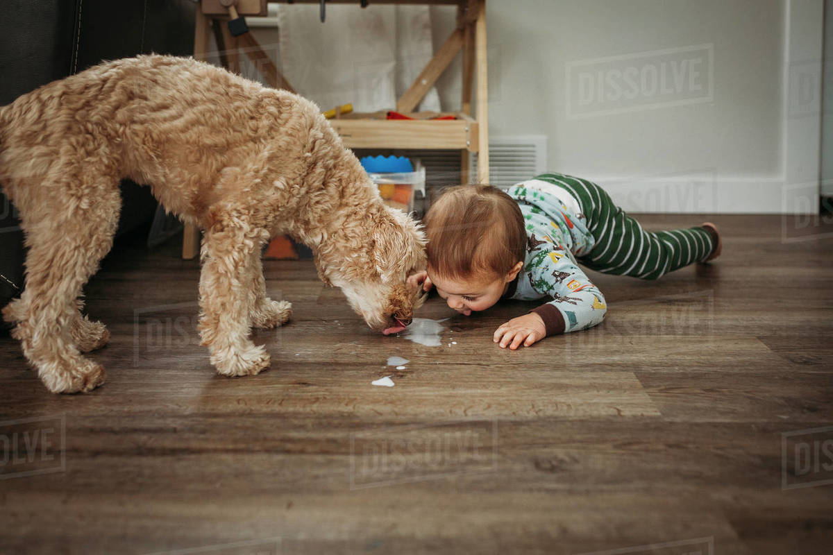 Toddler boy and dog licking spilled milk off wooden floor Royalty-free stock photo